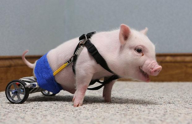 Chris P. Bacon, il maialino con la protesi