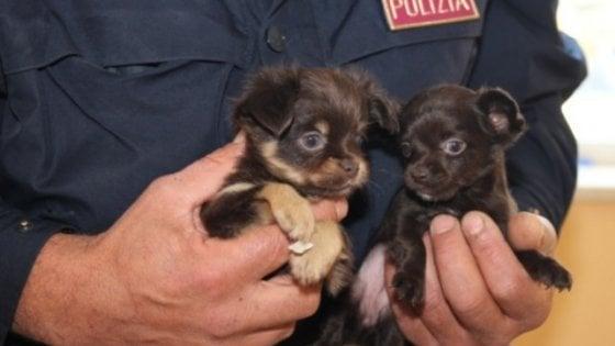Traffico di cuccioli: smantellata una banda a Udine