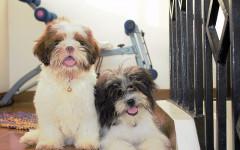 Perro shitzu: un canino tibetano