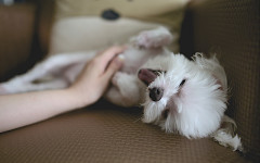 Perro duerme boca arriba: ¿por qué lo hace?