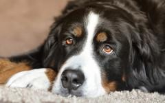 Sindrome dell'occhio secco nei cani: le razze più colpite
