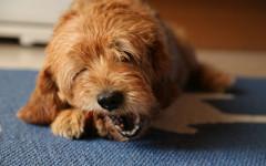 Cane mangia cose da terra, come farlo smettere?