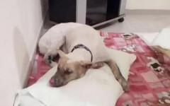 Morto Jako, il cane vittima della crudeltà umana perché abbaiava