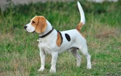Perros fieles: razas e historia asombrosas