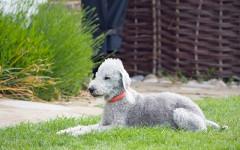 Razze canine rare: quali sono le più rare nel mondo?