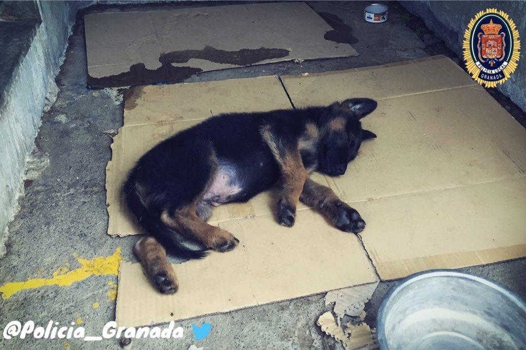 Cane maltrattato diventa poliziotto a Granada