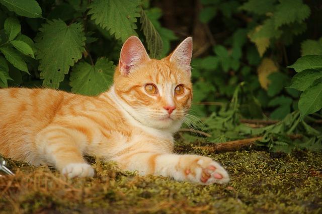 Cálculos renales en los gatos: síntomas y tratamiento