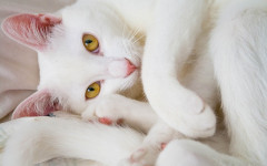 Cat compulsive disorder: causes, symptoms, and treatment