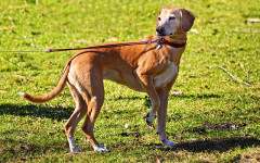 Mi perro muerde la correa: ¿qué puedo hacer?