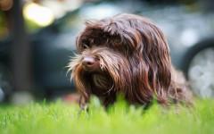 Ansiedad por separación en perros: comportamiento frecuente
