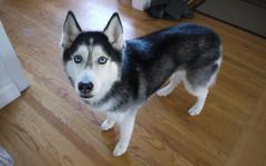Mishka The Talking Dog: conosciamo questo bellissimo husky