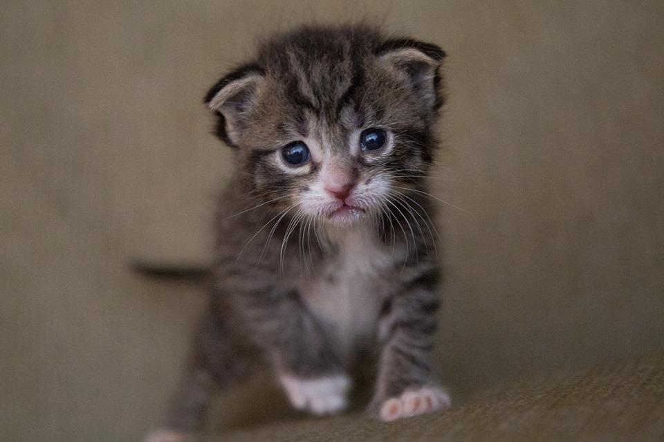orphaned kitten