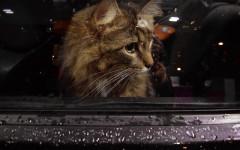 Viajar con tu gato en carretera: consejos para un buen viaje