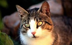 "Segreti gatto europeo: i ""segreti"" da svelare assolutamente"