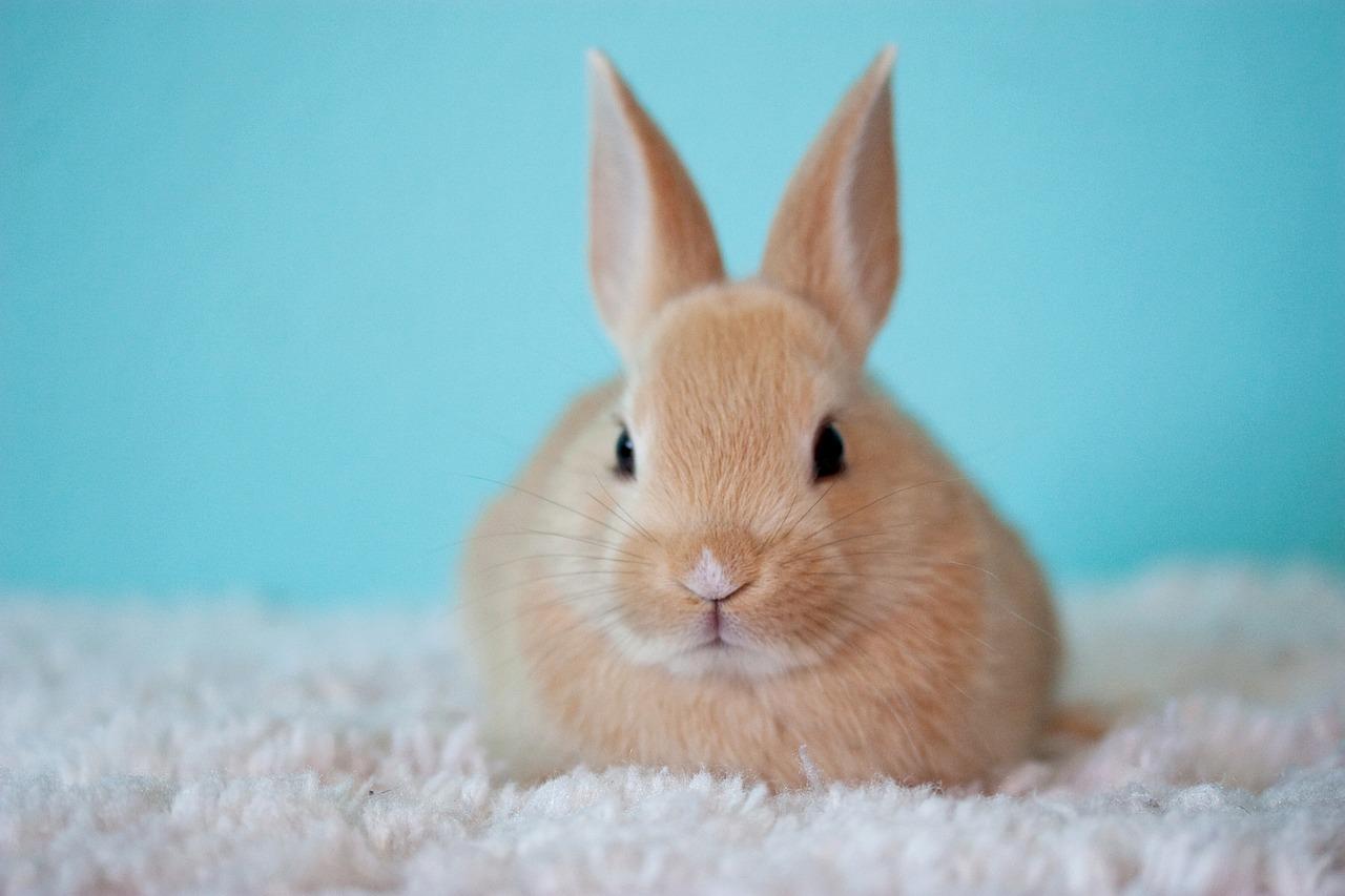 Otite nel coniglio