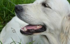 Enfermedad de encías en perros: una dolencia penosa