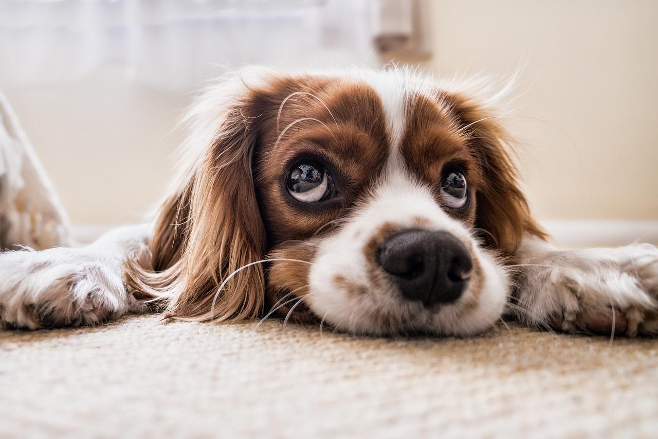 Perro mueve la colita: señal inequívoca de felicidad