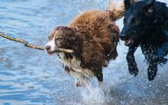 acqua al cane