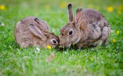 Parejas de conejos