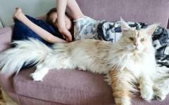 Gatto Lotus, il bellissimo felino grande come un bambino
