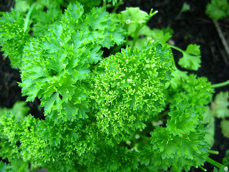 parsley dog