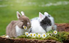 Inserimento tra conigli