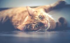 Años humanos del gato