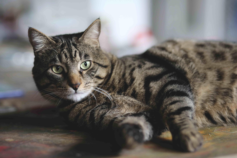 sistema inmunológico en gatos