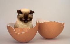 i gatti possono mangiare le uova