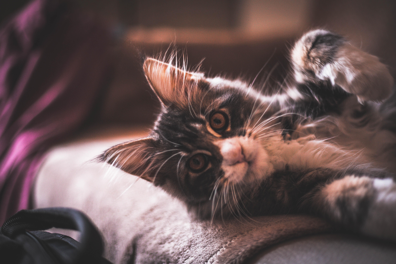 Enteritis gato