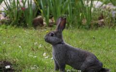 Pulizia orecchie coniglio