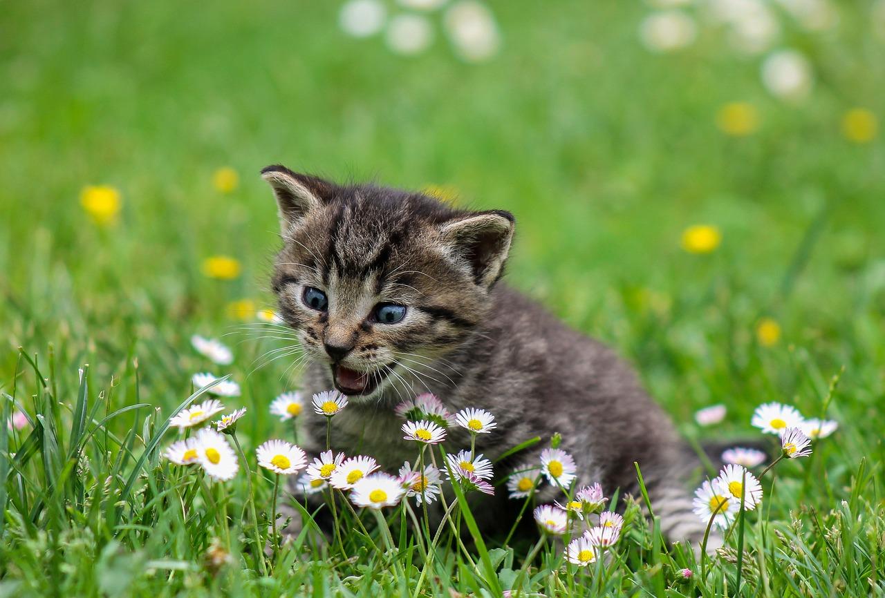 maullido en los gatos