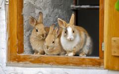 Osteoartrite nel coniglio