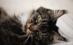 Deshidratación en gatos