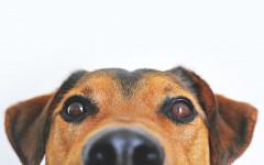 Hemorragia en el perro