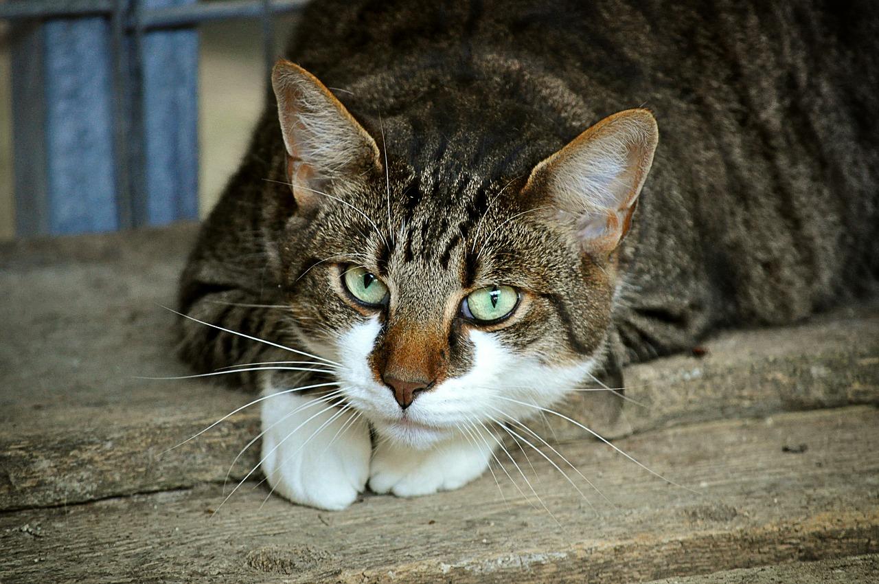 Problemas circulatorios en gatos
