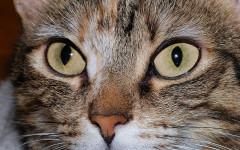 Colori occhi gatti