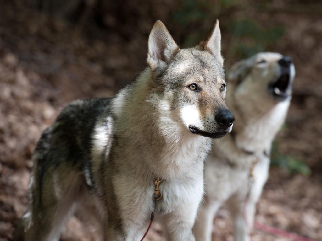Cani lupo