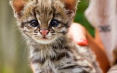 Gato tirica melánico