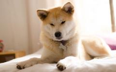perro akita