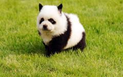 perro panda