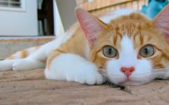 Il gatto con le zampe corte