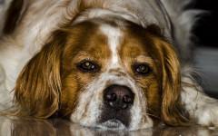 Il cane d'estate col caldo