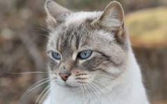 gatto orecchie calde