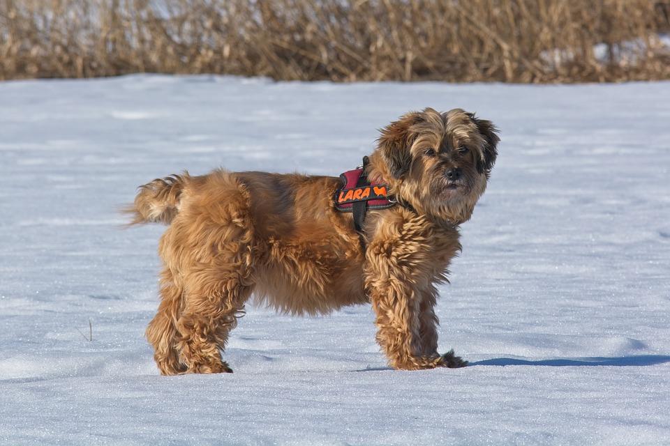 cane tibetano